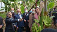Kırıkhan'da Muz Hasadı