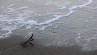 Kaplumbağalarının Denize Yolculuğu Başladı
