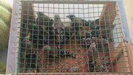 Altınözü'nde 4 bin 558 saka kuşu ele geçirildi