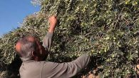 Zeytinde yüksek verim çiftçiyi mutlu etti